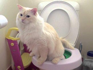 Приучаем кота к унитазу