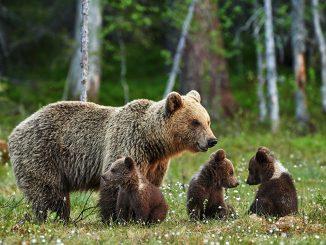 Как правильно защищаться от нападения медведей?